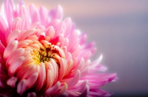 chrysanthemum-202483