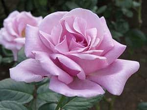 flower-220935_300