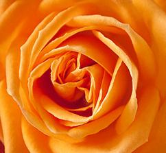 rose-186452_242