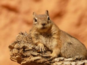 golden-mantled-ground-squirrel-4588