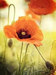 poppy-619321_1280