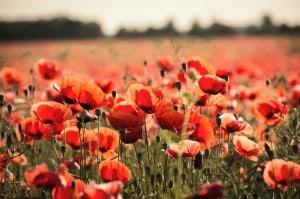 poppy-665815_1280