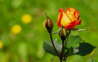 Die Geduld ist eine Rose
